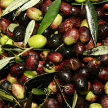 Olives of the Roman Countryside